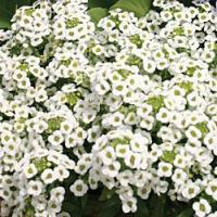 Carpet of Snow Alyssum - St. Clare Heirloom Seeds
