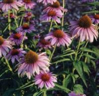 Echinacea Purpurea Coneflower - St. Clare Heirloom Seeds