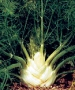 Florence Fennel Herb - St. Clare Heirloom Seeds