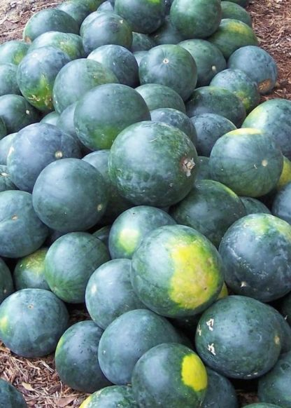 Watermelon - Organic Sugar Baby - St. Clare Heirloom Seeds