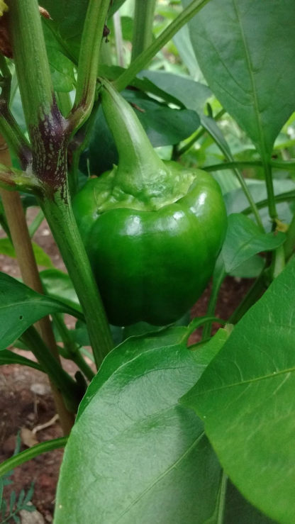 Pepper, Sweet - Organic California Wonder - St. Clare Heirloom Seeds