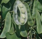 Bean, Lima - King of the Garden - St. Clare Heirloom Seeds