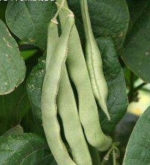 Bean, Pole - Kentucky Wonder - St. Clare Heirloom Seeds