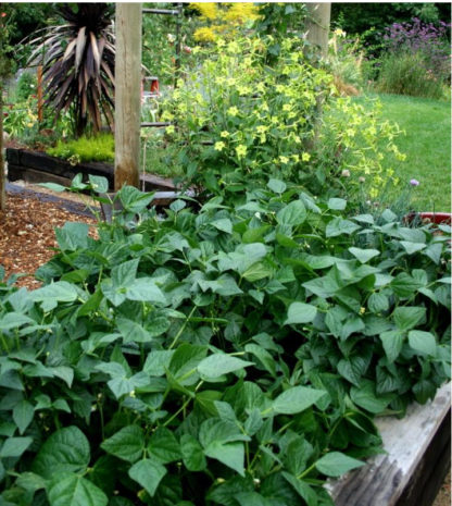 Bean - BluBean - Organic Blue Lake Bush 274 String Bean - St. Clare Heirloom Seedse Lake Bush 274 - St. Clare Heirloom Seeds