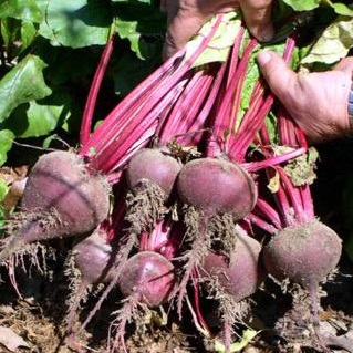 Beet - Early Wonder Tall Top - St. Clare Heirloom Seeds