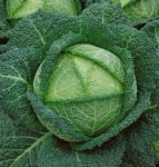 Savoy Perfection Cabbage - St. Clare Heirloom Seeds