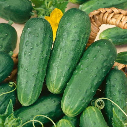 homemade pickles cucumber - St. Clare Heirloom Seeds