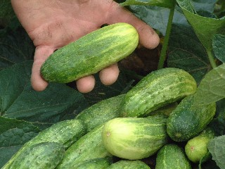 National Pickling Improved Cucumber - St. Clare Heirloom Seeds
