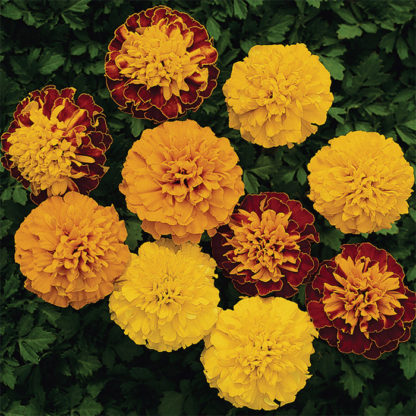 Boy O Boy Mix Marigold - St. Clare Heirloom Seeds