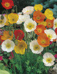 Flower - Poppy - Iceland - St. Clare Heirloom Seeds
