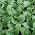 Herb, Annual - Dutch Corn Salad - St. Clare Heirloom Seeds