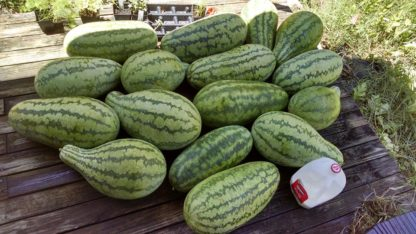 Jubilee Watermelon - St. Clare Heirloom Seeds