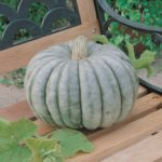 Pumpkin - Jarrahdale Blue - St. Clare Heirloom Seeds