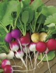 Radish - Easter Egg - St. Clare Heirloom Seeds