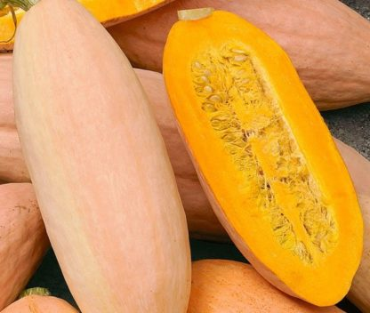 Winter Squash - Pink Banana Jumbo - St. Clare Heirloom Seeds