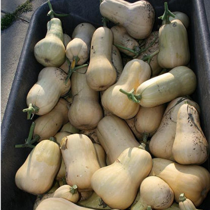 Squash, Winter - Organic Waltham Butternut - St. Clare Heirloom Seeds - Photo credit Cheryl Netter