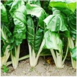Swiss Chard- Fordhook Giant - St. Clare Heirloom Seeds