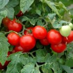 Tomato, Cherry - Large Red Cherry - St. Clare Heirloom Seeds