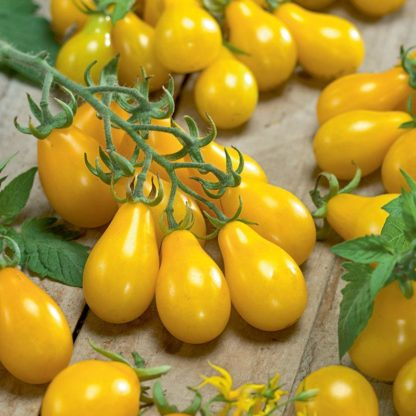 Tomato, Cherry - Yellow Pear - St. Clare Heirloom Seeds