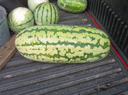 Watermelon - Jubilee - St. Clare Heirloom Seeds