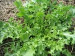 Salad King Endive - St. Clare Heirloom Seeds
