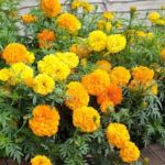 Flower - Marigold - Crackerjack Mix - St. Clare Heirloom Seeds