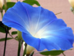 Heavenly Blue Morning Glory - St. Clare Heirloom Seeds