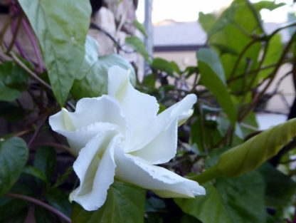 Morning Glory - White Moonflower - St. Clare Heirloom Seeds Photo Credit Julie Butcher