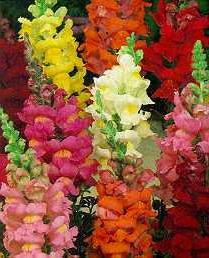 Flower - Snapdragon Maximum Mix - St. Clare Heirloom Seeds
