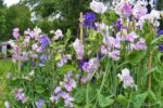 Flower - Sweet Pea Royal Mix - St. Clare Heirloom Seeds