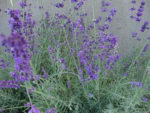 Herb, Perennial - Lavender Vera - St. Clare Heirloom Seeds