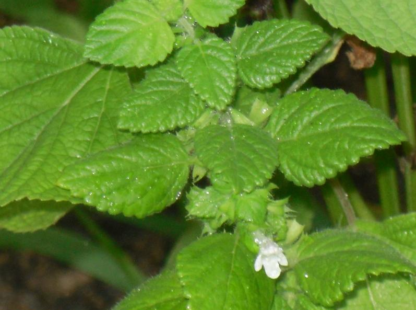 Herb, Perennial - Lemon Balm beginning to flower - St. Clare Heirloom Seeds