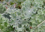 Scotch Blue Curled Kale - St. Clare Heirloom Seeds