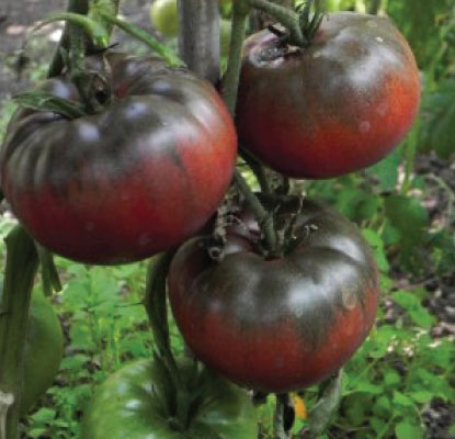 Tomato - Black From Tula - St. Clare Heirloom Seeds