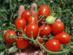 Tomato, Cherry - Riesentraube - St. Clare Heirloom Seeds