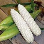 Corn - Boone County White Non-GMO - St. Clare Heirloom Seeds