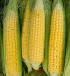 Golden Bantam Non GMO Corn - St. Clare Heirloom Seeds