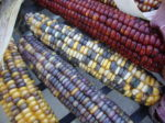 Indian Flint Corn - St. Clare Heirloom Seeds - Photo Credit PJ Smith