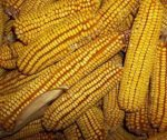 Reids Yellow Dent Corn - St. Clare Heirloom Seeds
