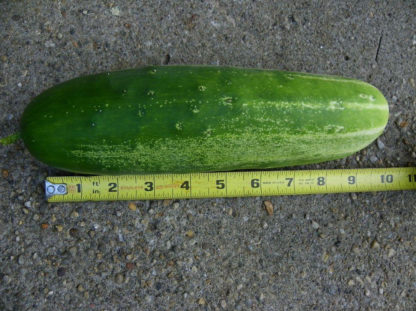Cucumber, Slicing - Straight Eight - St. Clare Heirloom Seeds
