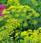 Bouquet Dill - St. Clare Heirloom Seeds