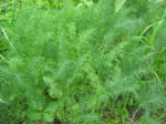 Mammoth Long Island Dill - St. Clare Heirloom Seeds