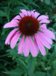 Echinacea Purpurea Coneflower - St. Clare Heirloom Seeds Photo Credit PJ Smith