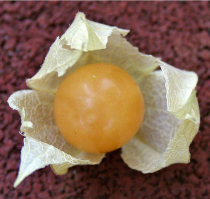 Ground Cherry - Cossack Pineapple - St. Clare Heirloom Seeds - Cheryl Netter