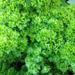 Herb, Annual - Moss Curled Parsley - St. Clare Heirloom Seeds