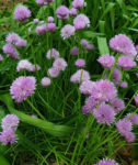 Herb - Chives - St. Clare Heirloom Seeds