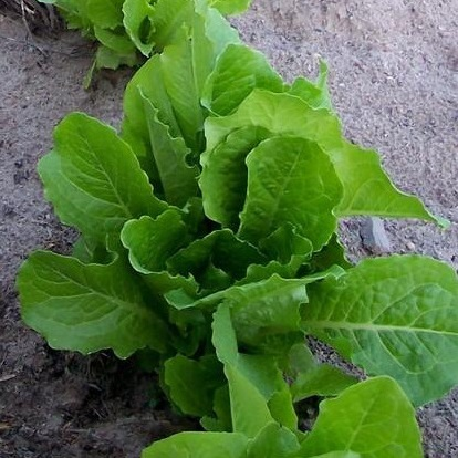 Lettuce Parris Island cos - St. Clare Heirloom Seeds