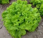 Lettuce, Loose Leaf - Grand Rapids TBR - St. Clare Heirloom Seeds