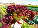 Lettuce, Loose Leaf - Lolla Rosa - St. Clare Heirloom Seeds