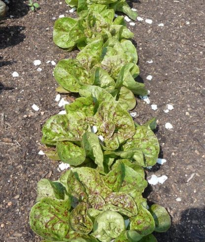 Lettuce, Romaine - Freckles - St. Clare Heirloom Seeds